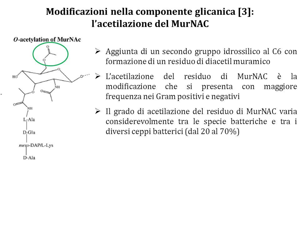 Modificazioni nella componente glicanica [3]: l'acetilazione del MurNAC